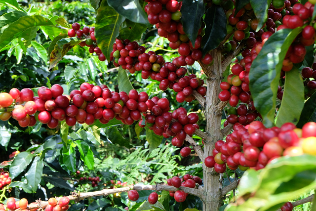 colombia coffee berry